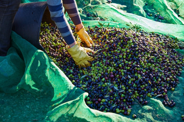 Olives harvest picking hands at mediterranean