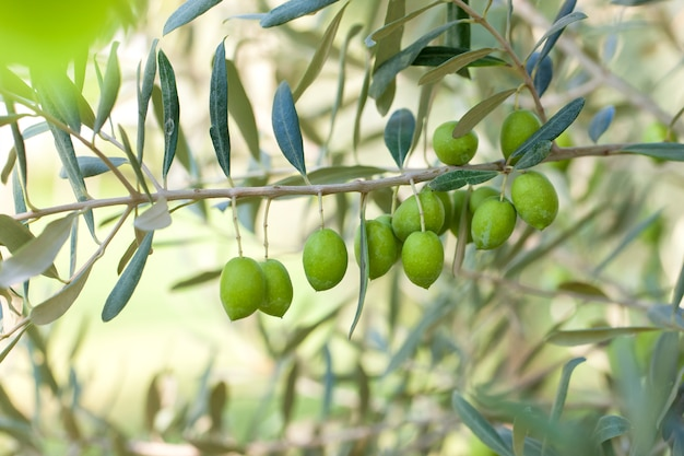 Olives on olive tree with bokeh.