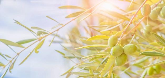 Оливки на оливковом дереве осенью. сезонный образ природы