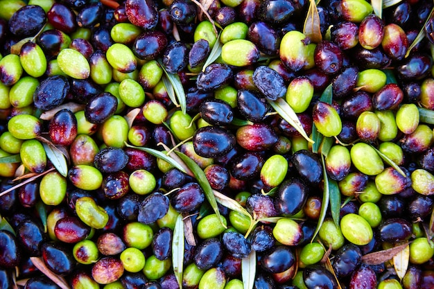 Olives texture in harvest at mediterranean