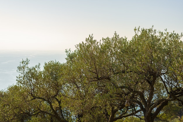 Olives tree branches on italian coastline, liguria