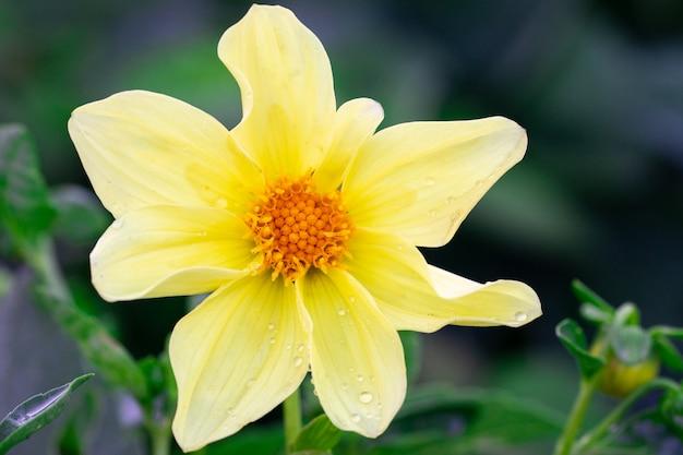 緑の背景には、日当たりの良い黄色の花と水滴があります。クローズアップ、トップビュー。