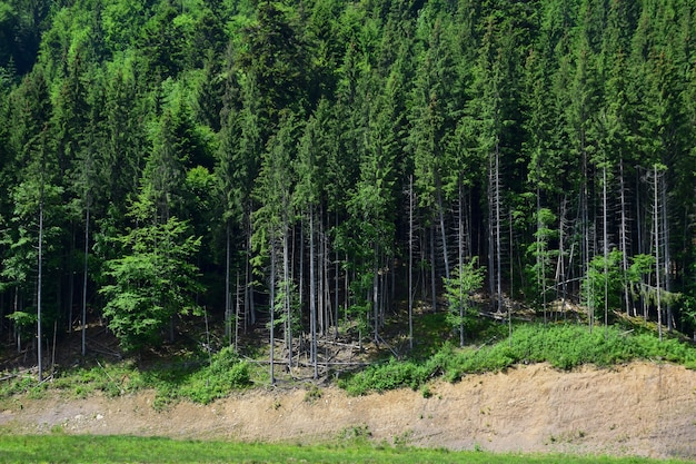 丘の上には、フレーム全体にたくさんの木がある針葉樹林があります