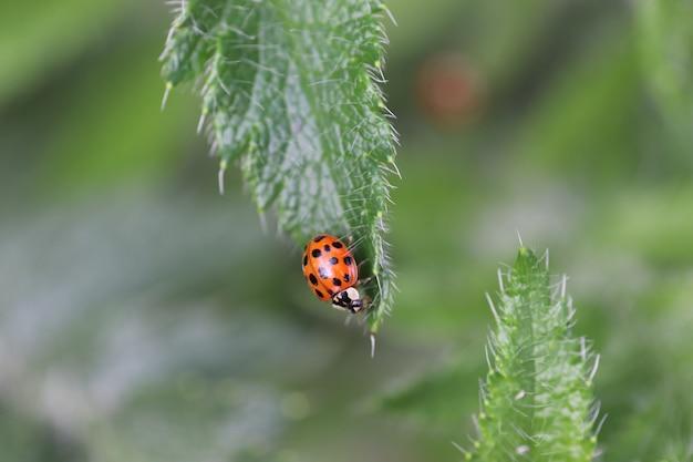 화창한 날 붉은 무당벌레가 무성한 녹색 잎 위를 걷는다