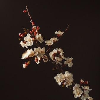 アプリコットの黒背景開花枝に。