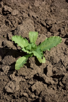 메마른 먼지투성이의 땅에는 뜨거운 태양 아래서 한 그루의 녹색 식물이 자라고 있습니다. 탈수된 연한 갈색의 흙이 갈라지고 덩어리로 덮여 있음
