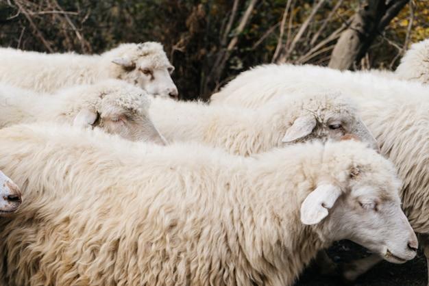 林道には白い農家の羊の群れがあります