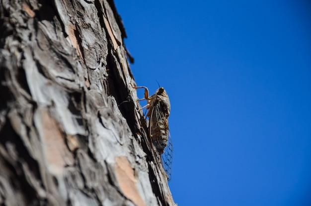 На острове крит (греция) содержится большое количество цикад