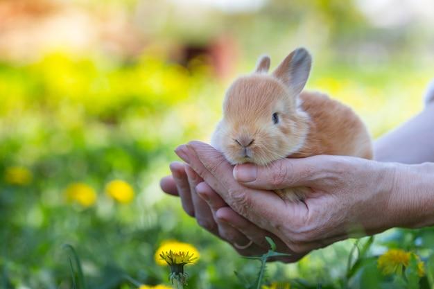 芝生の上で女の子は彼女の手のひらの上で小さなウサギを持っています