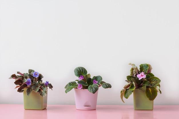 ピンクの表面には、屋内植物のスミレピンク、紫、ライラックの3つの小さな鉢があります