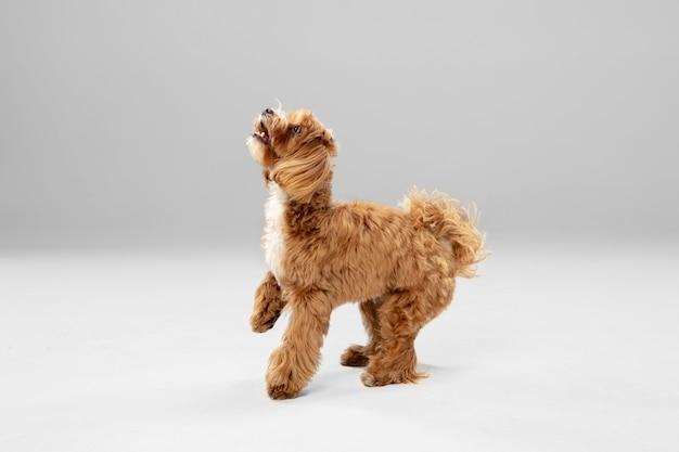 실행에. maltipu 작은 개가 포즈를 취하고 있습니다.
