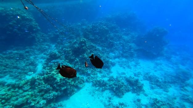 해저에서는 검은 물고기가 산호 근처에서 헤엄칩니다.