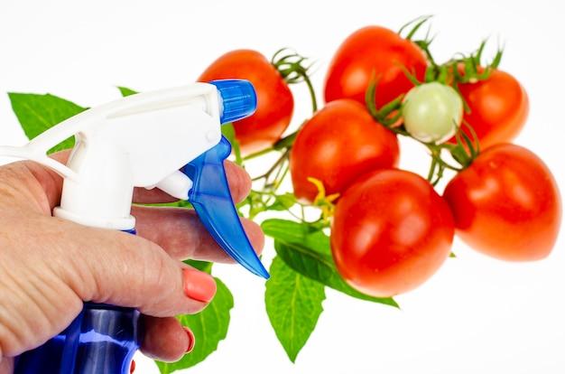 토마토에 해충과 질병에 대한 살충제를 살포하는 개념. 스튜디오 사진.