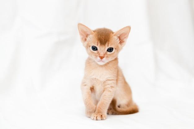 Один абиссинский котенок окраса палевый