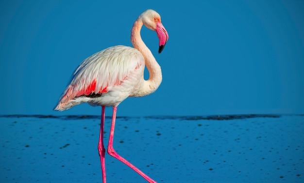 One african white flamingo  walking on the blue salt lake. namibian bird