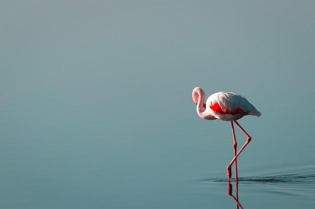 Один африканский белый фламинго гуляет по синему соленому озеру. намибийская птица