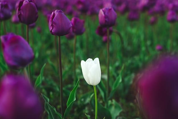 Один среди других концепция новых тенденций один белый тюльпан среди группы пурпурных тюльпанов индивидуальность