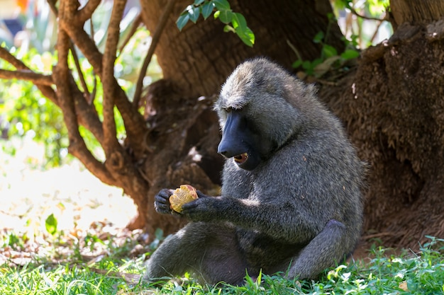 Один бабуин нашел плод и ест его