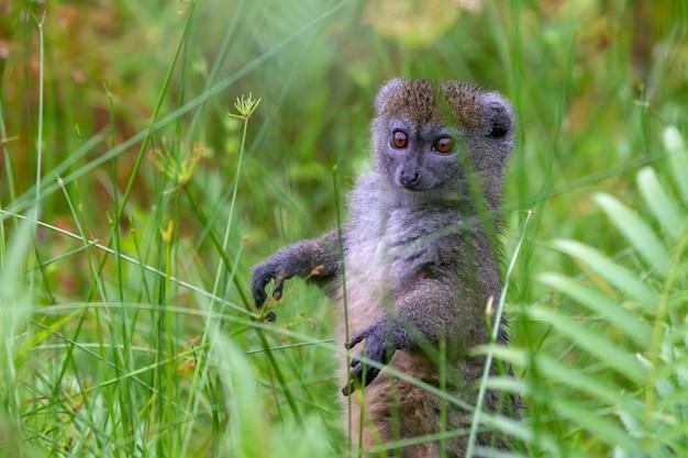 One bamboo lemur between the tall grass looks curious
