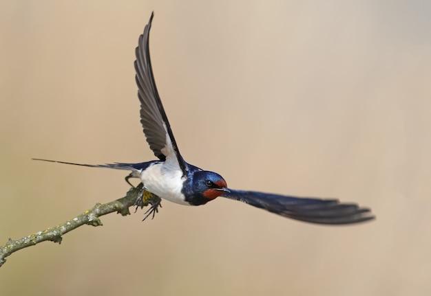 넓게 열린 날개를 가진 헛간 제비 하나가 날씬한 가지에서 가져옵니다. 흐릿한 멋진 베이지