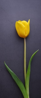 Один красивый ярко-желтый тюльпан крупным планом на фоне темно-серой лепной стены.