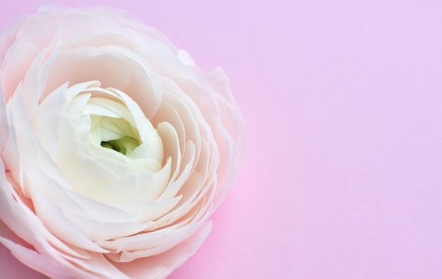 Один красивый нежный цветок розового лютика на розовой стене. ранункулюс клуни ханой. место для вашего текста.