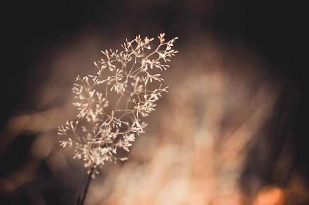 ぼやけた背景、茶色のフィルターに対する1つの美しい乾いた草のマクロ