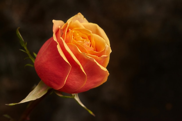 One beautiful orange rose on brown