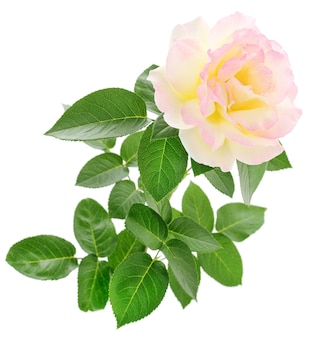 Одна красивая розовая роза на белом фоне