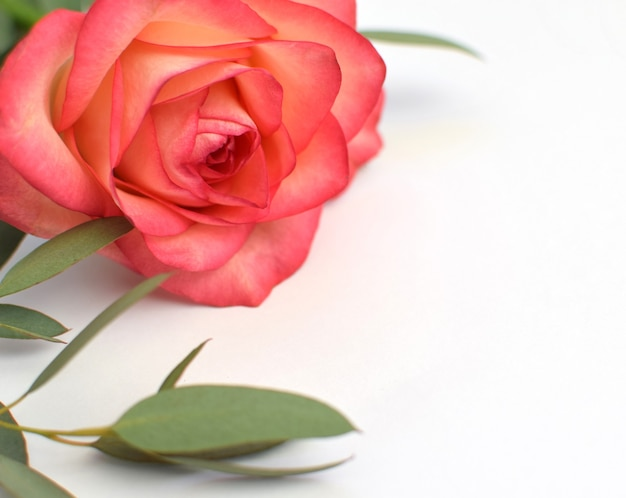 Одна красивая розовая роза с листьями эвкалипта на белом