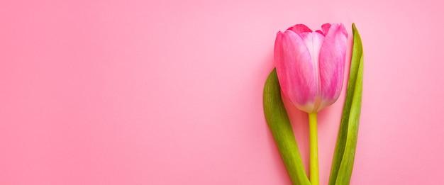 Один красивый розовый тюльпан крупным планом на розовом пространстве.