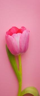 Один красивый розовый тюльпан крупным планом на розовом.