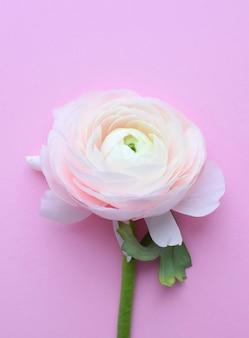 Один красивый цветок лютика розового цвета на розовой стене.