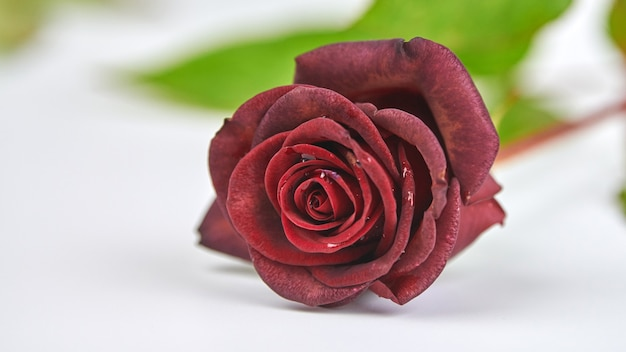 One beautiful red rose with water drops on white background, close up.