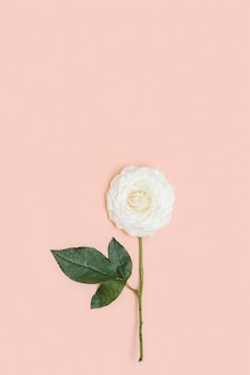 One beautiful white rose flower with green leaves on pastel pink background with copy space. holiday minimal concept. nature background. color trends.