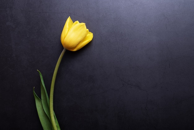 One beautiful yellow tulip in close-up against a dark blue-gray wall.