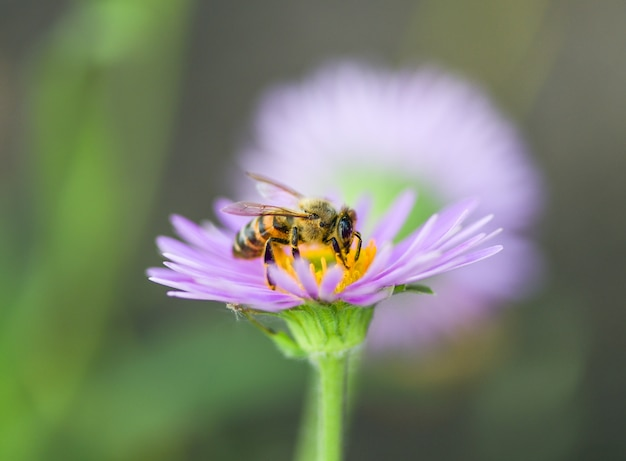 One bee on a purple flower collects pollen