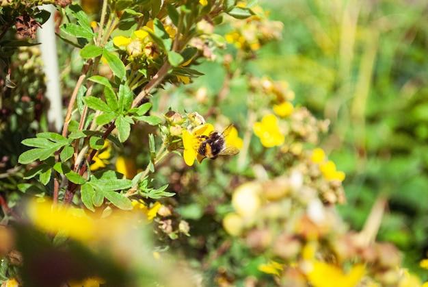ある大きなマルハナバチは、晴れた日に黄色い花から蜂蜜を集めます