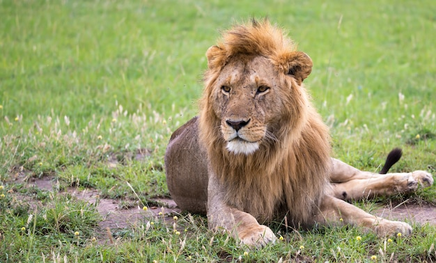 One big lion lies in the grass in the savanna of kenya