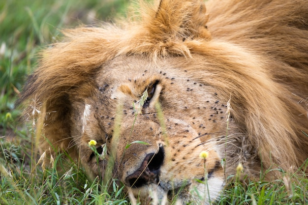 One big lion sleeps in the grass of the kenyan savannah