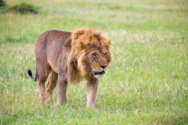 Один большой лев-самец гуляет по саванне
