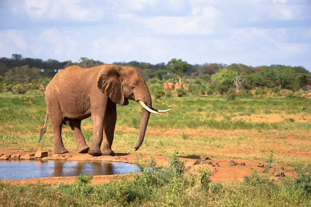 One big red elephant is walking on the bank of a water hole