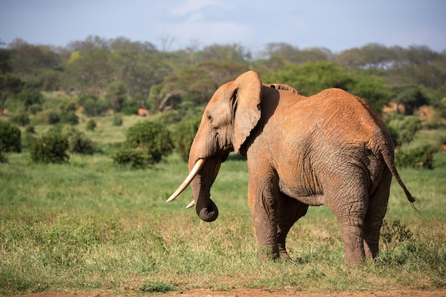 One big red elephant walks through the savannah between many plants