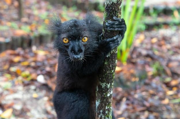 One black lemur on a tree awaiting a banana