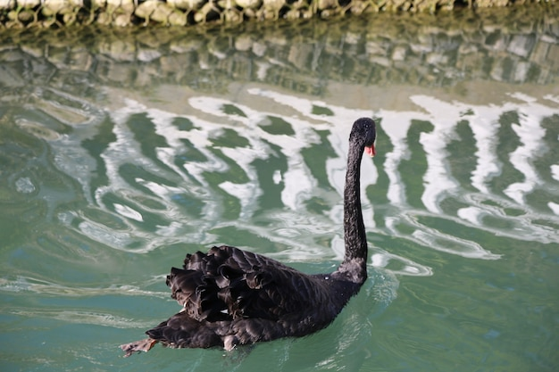One black swan is swimming on the lake. a rare beautiful bird, a symbol of loyalty.