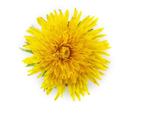 Один цветущий желтый одуванчик, изолированные на белом фоне, крупным планом. может использоваться как элемент дизайна, задник