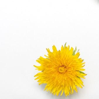 Один цветущий желтый одуванчик, изолированные на белом фоне, крупным планом, квадратной рамкой, копией пространства. может использоваться как элемент дизайна