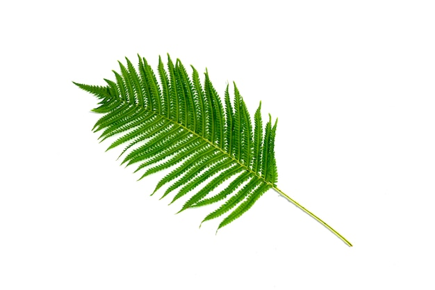 One branch of a fern or palm tree on a white background. concept of the tropics. flat lay, top view