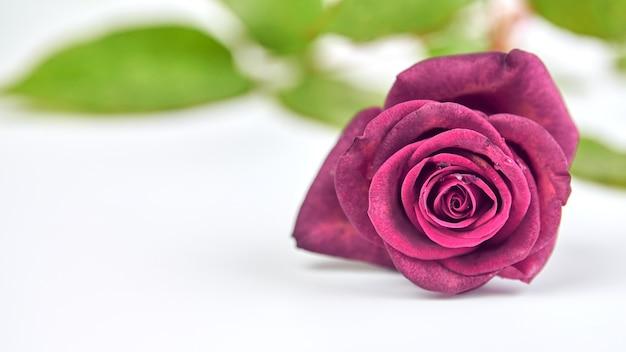 1つの明るい深紅色のバラ、白い背景の上の水滴、クローズアップ