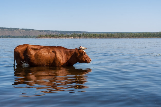 One brown cow is standing in volga river and freshing in it in hot summer day.